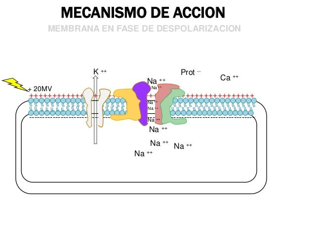 MECANISMO DE ACCION MEMBRANA EN FASE DE REPOLARIZACION  Na ++  Prot --  Ca ++  - 50MV  -----------------------------------...