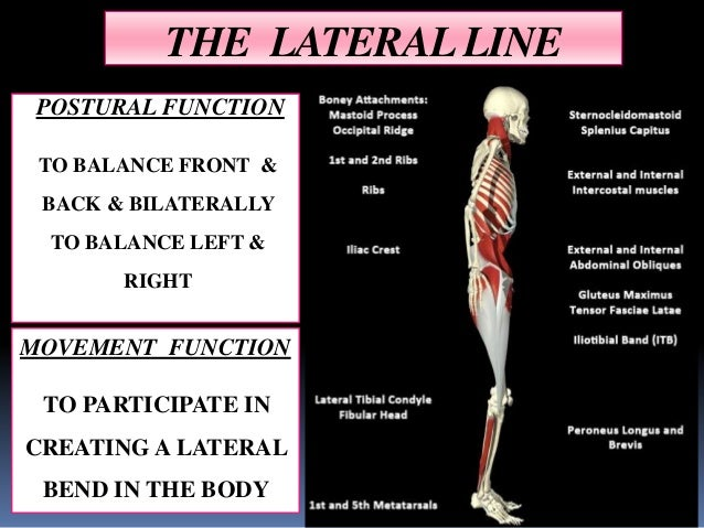 what is the function of the lateral line