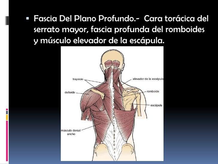 Anatomía Estructural, Equipo 2, Tema 2: Fascias De La Cintura Escapul…