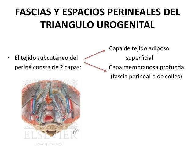 Fascias y espacios perineales del triangulo urogenital