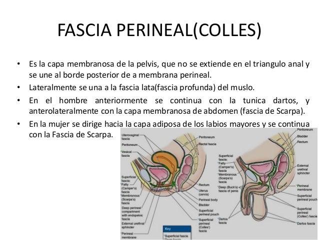 FASCIA PERINEAL(COLLES) • Es la capa membranosa de la pelvis, que no se extiende en el triangulo anal y se une al borde po...
