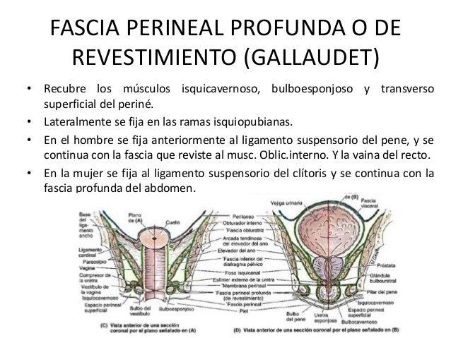 FASCIA PERINEAL PROFUNDA O DE REVESTIMIENTO (GALLAUDET) • Recubre los músculos isquicavernoso, bulboesponjoso y transverso...
