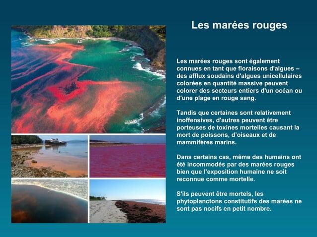 Les marées rougesLes marées rouges sont égalementconnues en tant que floraisons dalgues –des afflux soudains dalgues unice...