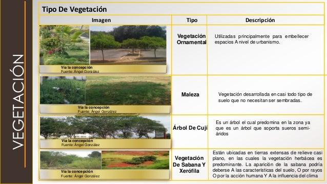 Vegetación Ornamental Maleza Árbol De Cují Vegetación De Sabana Y Xerófila Tipo De Vegetación Imagen Tipo Descripción Util...