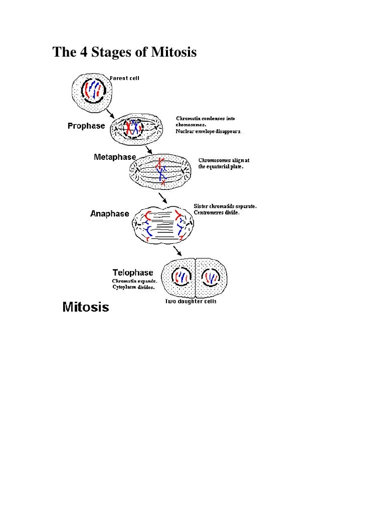 The 4 Stages of Mitosis<br /> <br />