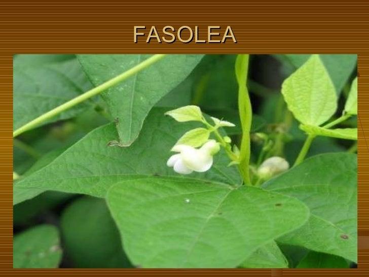 FASOLEA