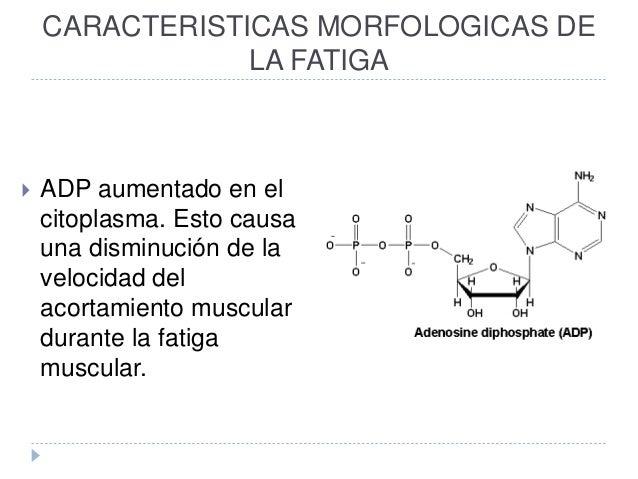 CARACTERISTICAS MORFOLOGICAS DE LA FATIGA  ADP aumentado en el citoplasma. Esto causa una disminución de la velocidad del...