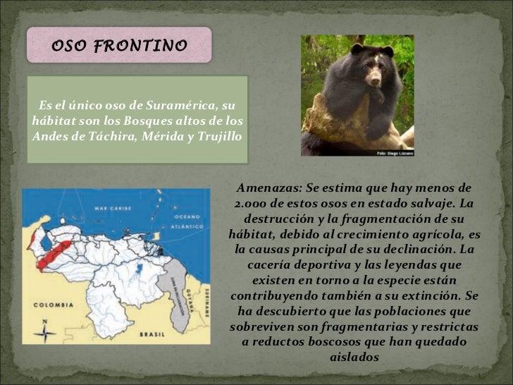 OSO FRONTINO Es el único oso de Suramérica, suhábitat son los Bosques altos de losAndes de Táchira, Mérida y Trujillo     ...