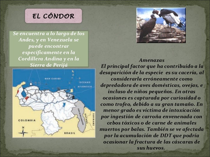 EL CÓNDORSe encuentra a lo largo de los  Andes, y en Venezuela se      puede encontrar    específicamente en la  Cordiller...