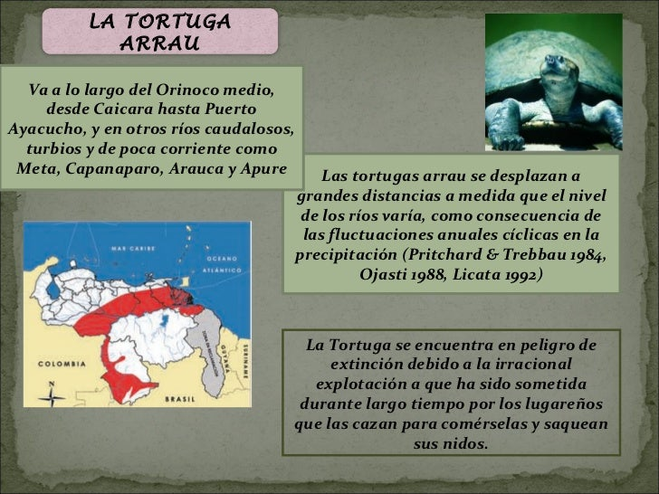 LA TORTUGA             ARRAU  Va a lo largo del Orinoco medio,    desde Caicara hasta PuertoAyacucho, y en otros ríos caud...