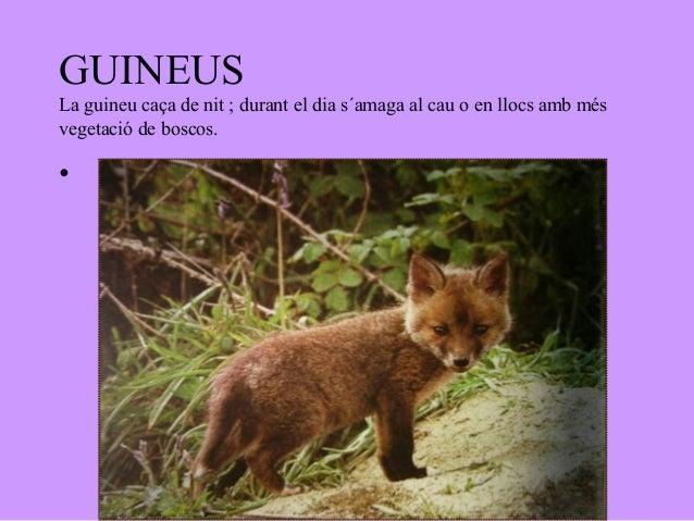 GUINEUSLa guineu caça de nit ; durant el dia s´amaga al cau o en llocs amb mésvegetació de boscos.•