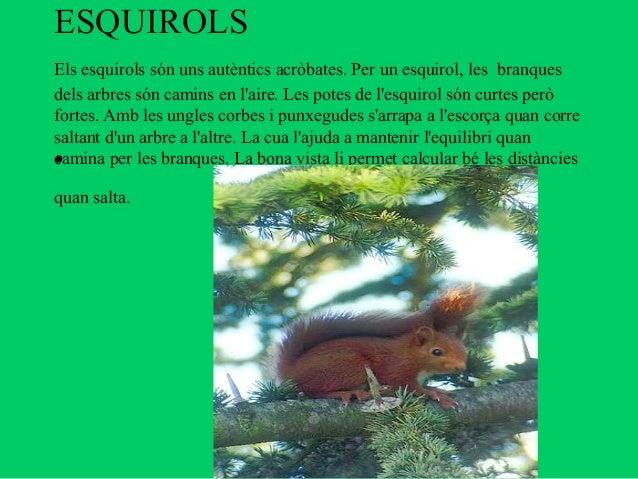 ESQUIROLSEls esquirols són uns autèntics acròbates. Per un esquirol, les branquesdels arbres són camins en laire. Les pote...