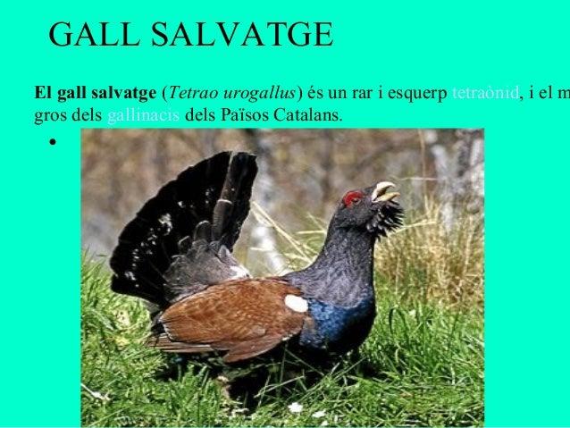 GALL SALVATGEEl gall salvatge (Tetrao urogallus) és un rar i esquerp tetraònid, i el mgros dels gallinacis dels Països Cat...
