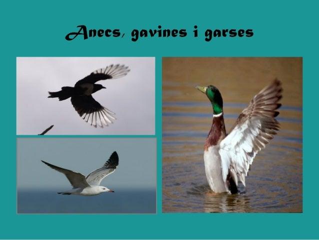 Anecs, gavines i garses