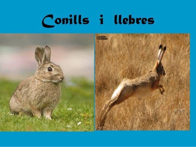 Conills i llebres