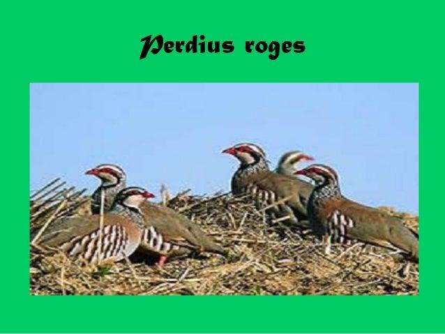 Perdius roges