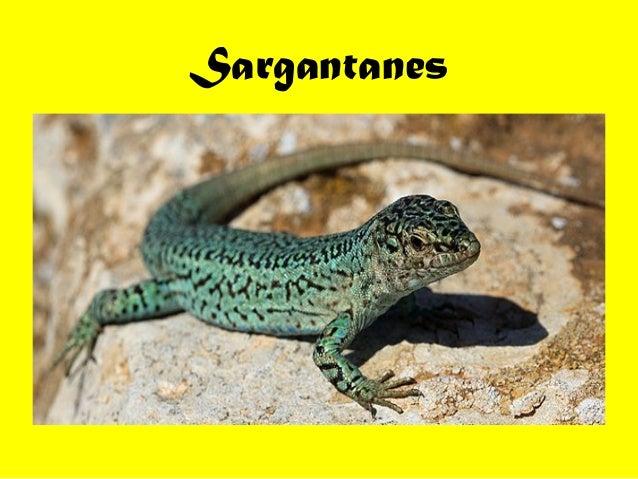 Sargantanes