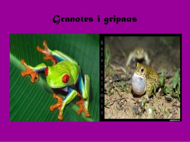 Granotes i gripaus