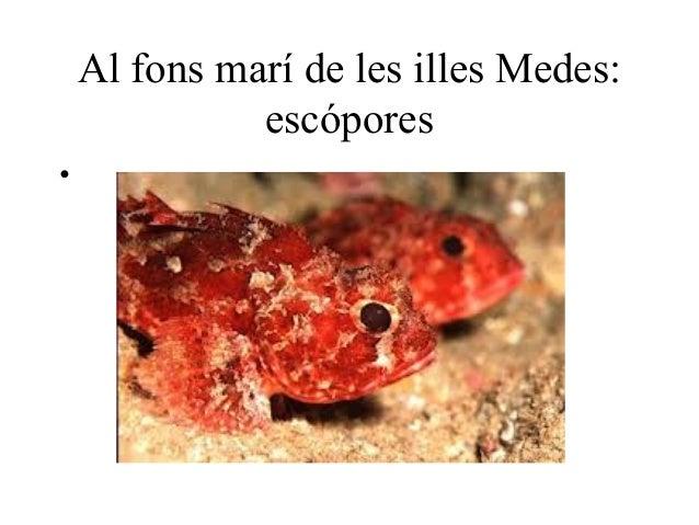 Al fons marí de les illes Medes:              escópores•