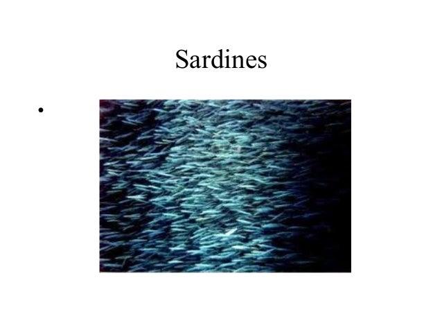 Sardines•