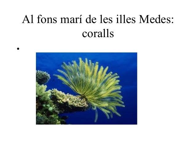 Al fons marí de les illes Medes:                coralls•