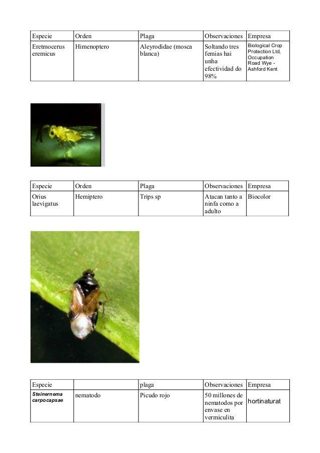 Especie  Orden  Plaga  Observaciones Empresa  Eretmocerus eremicus  Himenoptero  Aleyrodidae (mosca blanca)  Soltando tres...