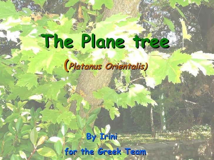 The Plane tree ( Platanus Orientalis) By Irini  for the Greek Team