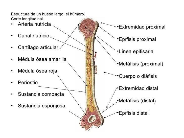 Increíble Hueso Húmero Anatomía Foto - Anatomía de Las Imágenesdel ...