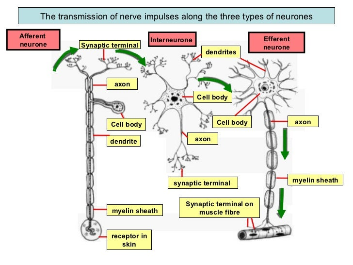 Fbiology form 5chp 3 coordination and response3 2 the role of the information 37 the transmission of nerve impulses along the three types of neurones synaptic terminal ccuart Gallery