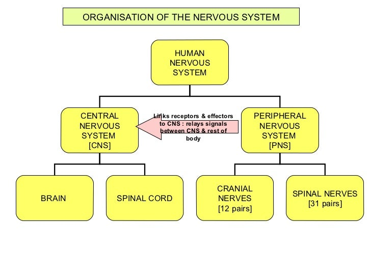 Fbiology form 5chp 3 coordination and response3 2 the role of the the human nervous system spinal cord brain 8 ccuart Choice Image