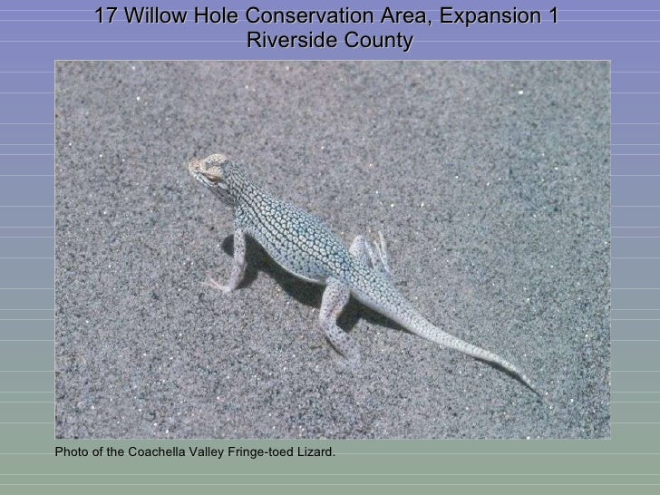 17 Willow Hole Conservation Area, Expansion 1  Riverside County Photo of the Coachella Valley Fringe-toed Lizard.