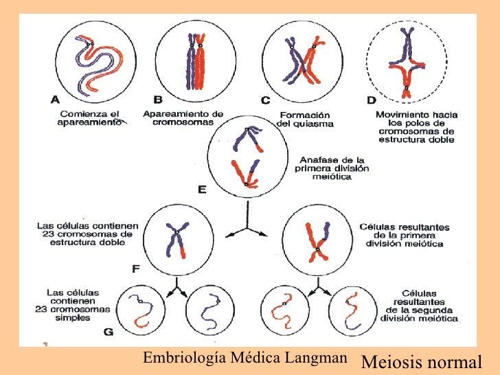 Gametogénesis Transformación De Las Células Germinales En