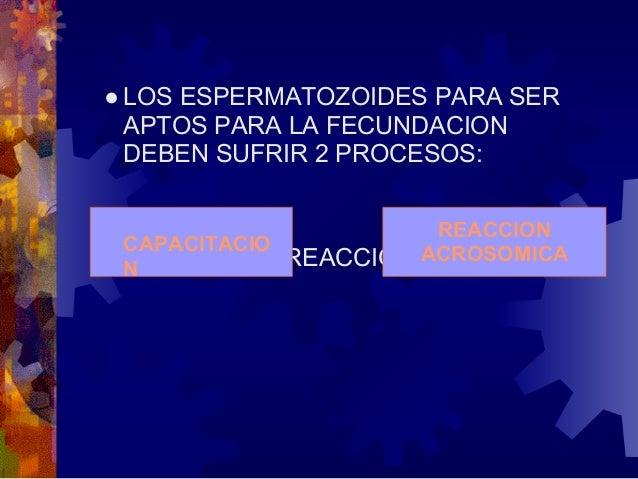 2. EL OVOCITO II FINALIZA LA SEGUNDADIVISION MEIOTICA Y SE FORMA EL OVULOMADURO Y SEGUNDO CUERPO POLAR.