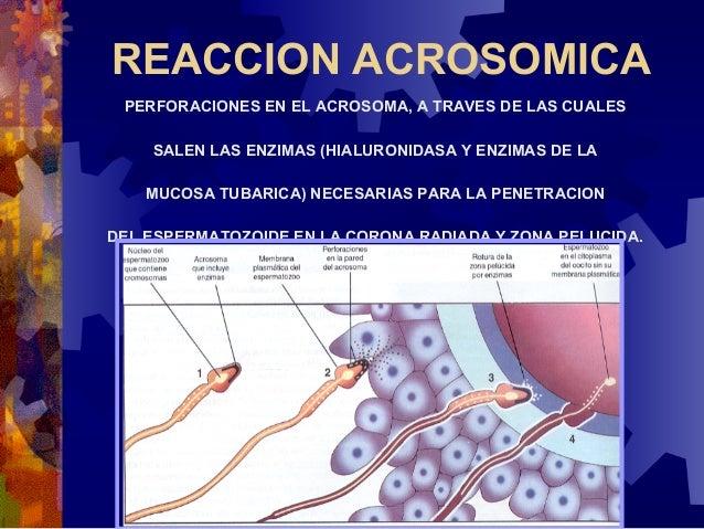 6. LOS PRONUCLEOS MASCULINOS Y FEMENINOS SEAPROXIMAN, PIERDEN SUS MEMBRANAS NUCLEARES Y SEFUSIONAN.