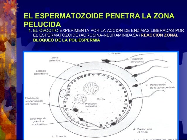 Formación del Blastocisto en la    Cavidad                    Uterina● MASA CELULAR INTERNA O–5to                   (4to  ...
