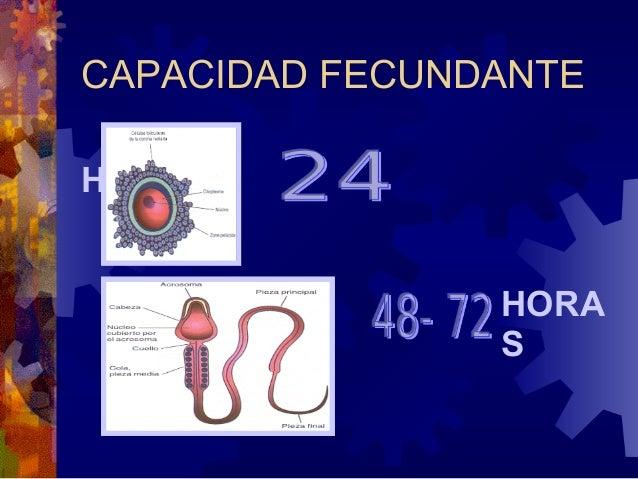 EL ESPERMATOZOIDE PENETRA LA ZONAPELUCIDA 1. EL OVOCITO EXPERIMENTA POR LA ACCION DE ENZIMAS LIBERADAS POR    EL ESPERMATO...