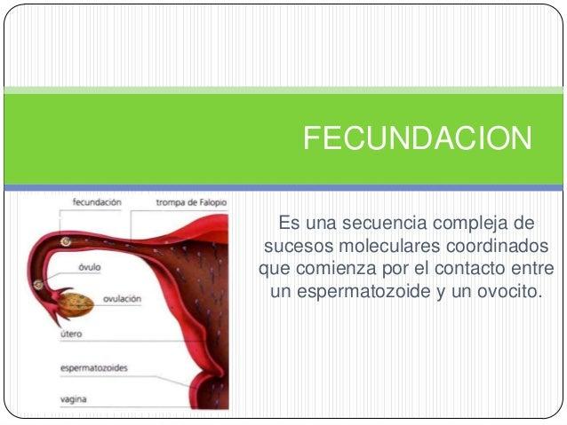FECUNDACION   Es una secuencia compleja de sucesos moleculares coordinadosque comienza por el contacto entre  un espermato...
