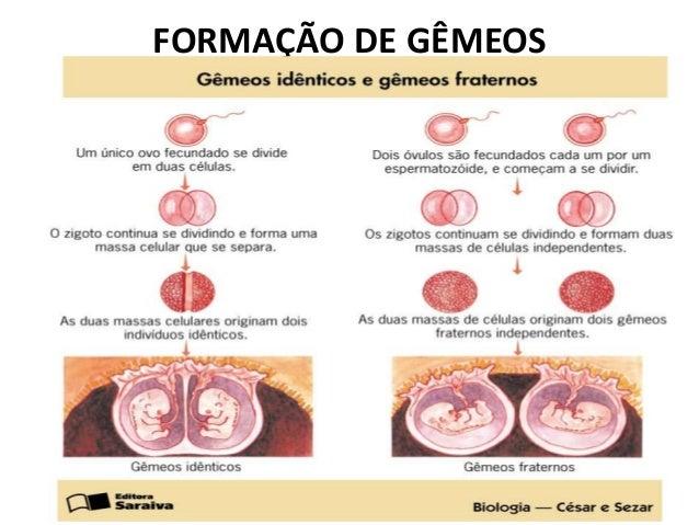 Resultado de imagem para embriogenese de gemeos