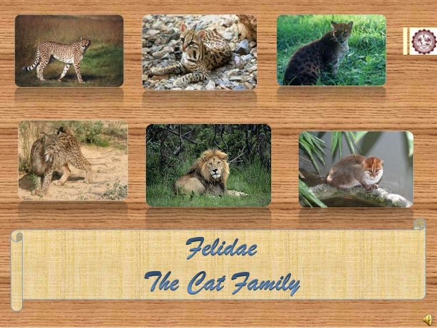 Domestic Cat Lineage  Leopard Cat Lineage  Panthera Lineage Bay Cat Lineage  The Cat Family  Puma Lineage  Caracal Lineage...