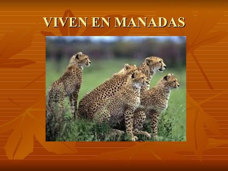 VIVEN EN MANADAS