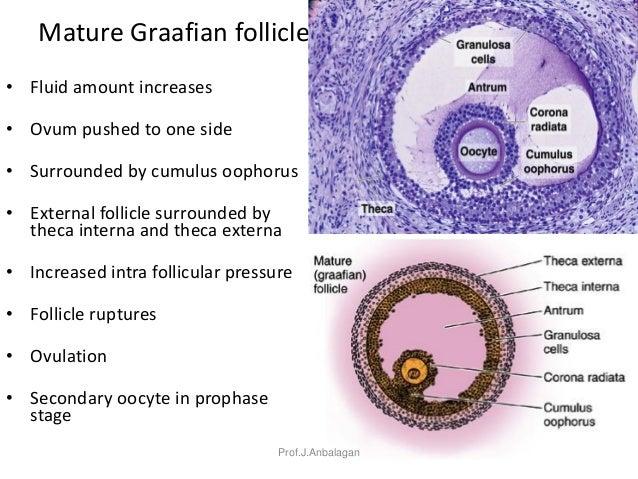 Mature graafian follicles