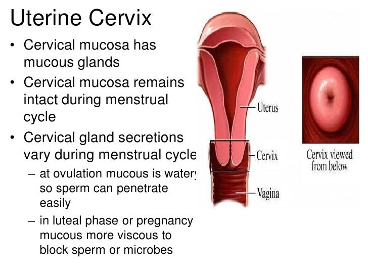 Female2 22 uterine cervix ccuart Choice Image
