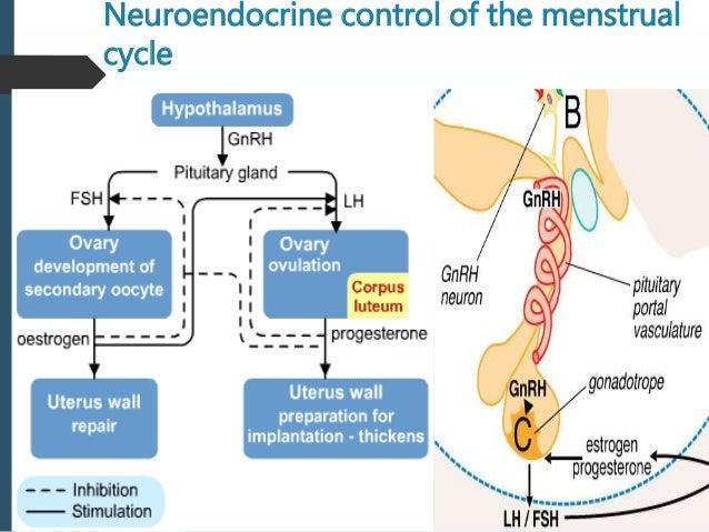 Serophene Menstruation