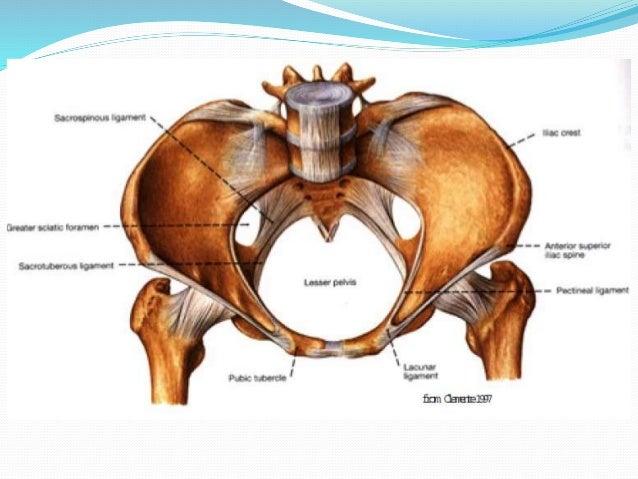 Female pelvic anatomy and urinary continence