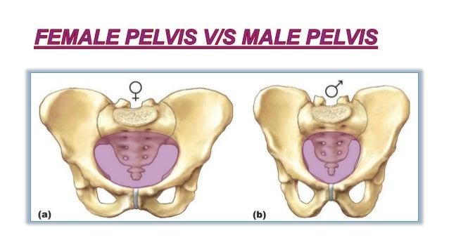 Female pelvis Slide 2