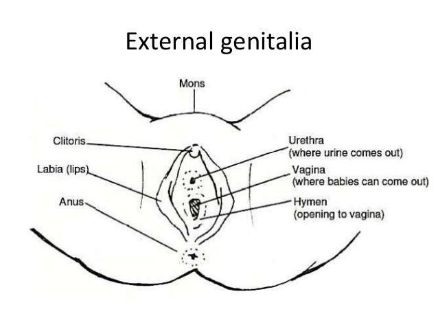 Female External Genitalia Penis
