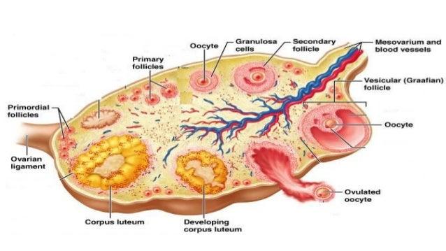 Anatomy of human ovary
