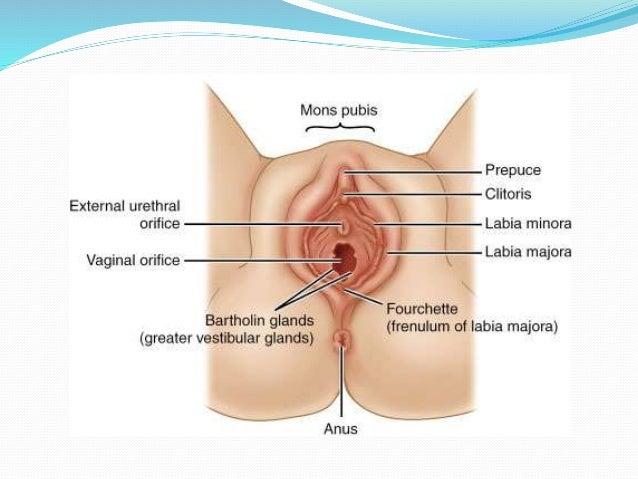 Female sex organ frenula