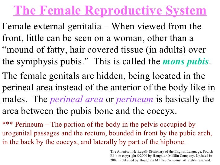 """Female external genitalia – When viewed from the front, little can be seen on a woman, other than a """"mound of fatty, hair ..."""