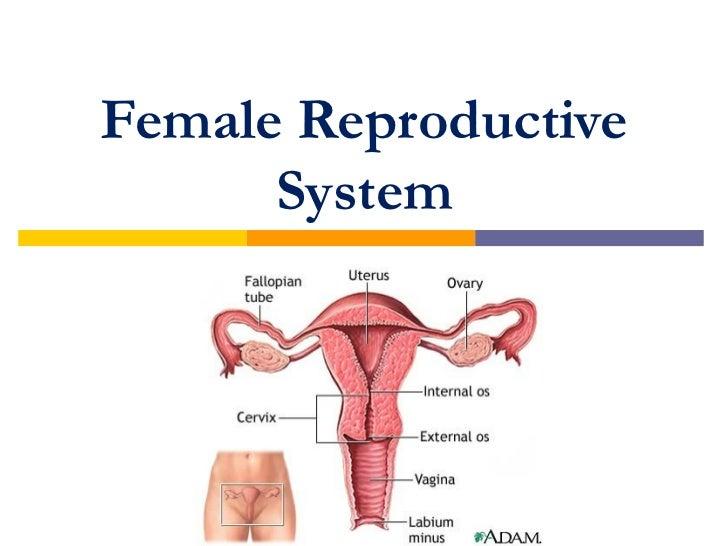 Sexual organs in female body
